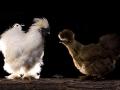 poules-negre-soie-002